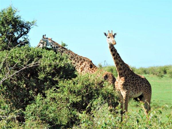 Enchoro Wildlife Camp , Maasai Mara